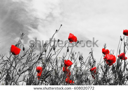 Guts beautiful poppies on black and white background  ストックフォト ©