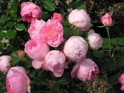 Guy de Maupassant floribunda rose.  A medium pink cluster-flowered hybrid tea that blooms repeatedly.