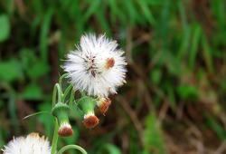 Gynura crepidioides in the garden, Crassocephalum crepidioides, also called ebolo, thickhead, redflower ragleaf, or fireweed.