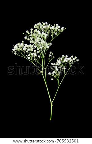 Gypsophila isolated on black background. Shallow depth of field. #705532501