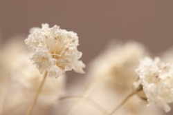 Gypsophila little flowers white buds with beige baclground