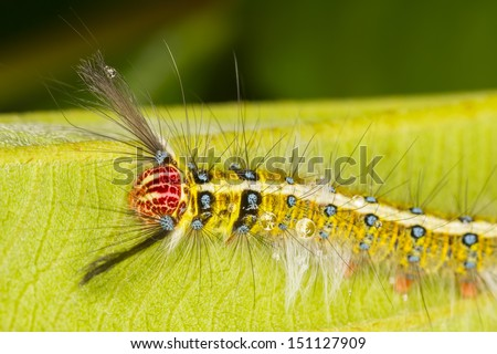 Gypsy caterpillar on green leaf