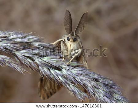 Gypsy moth butterfly