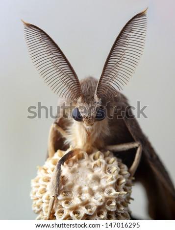gypsy moth butterfly on dry...