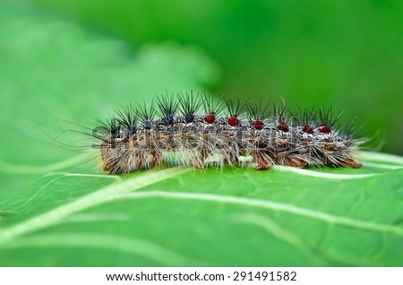 gypsy moth caterpillar ...
