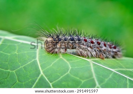 gypsy moth caterpillar ...
