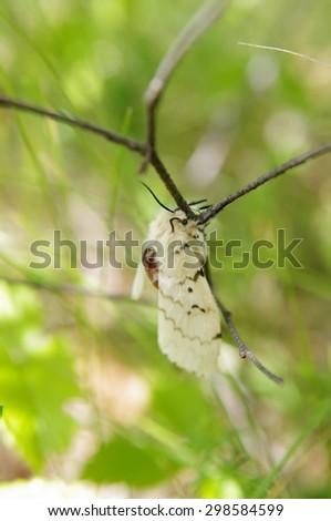 Gypsy moth (Lymantria dispar) on a twig in a forest #298584599
