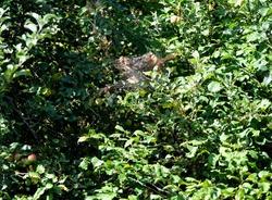 Gypsy moth test caterpillar nest in apple trees