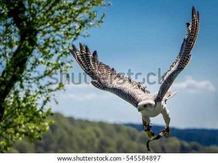 Shutterstock gyrfalcon falconry