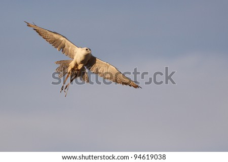 Gyrfalcon hunting in flight, radio transmitter attached to right leg