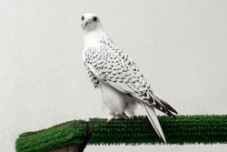 Gyrfalcon speckled white falcon bird of prey on white background.