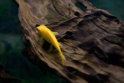 Gyrinocheilus golden sitting log sucker in the aquarium. (Cyprinidae)