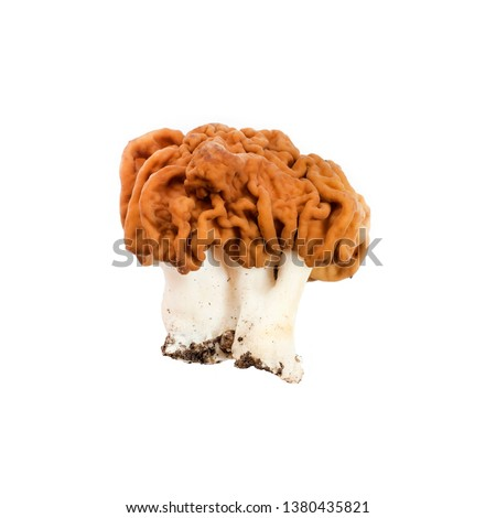 Gyromitra esculenta mushroom (known as False morel) isolated on white background