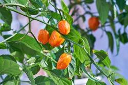 Habanero pepper, plant, hot spicy habanero peppers