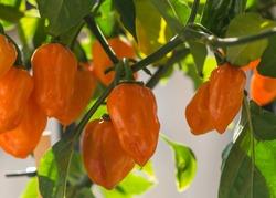 Habanero plant with orange ripening fruit