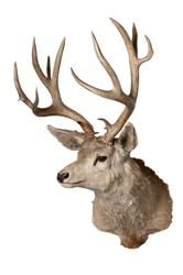 Had of a odocoilus hemionus (Black-taied or Mule deer), isolated on white