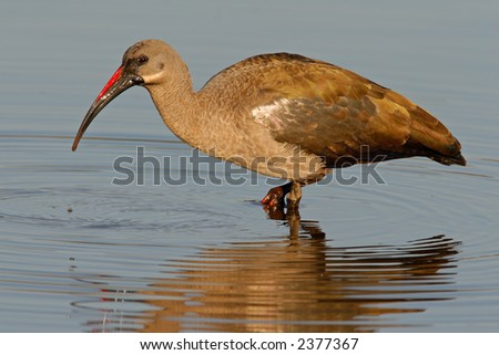 Hadeda Ibis (Bostrychia hagedash) staning in water, Kruger National Park, South Africa