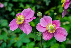 Hadspen Abundance is very free-flowering and keeps on producing masses of cup-shaped, deep pink, semi-double flowers with reddish-pink outer petals from July through to September.