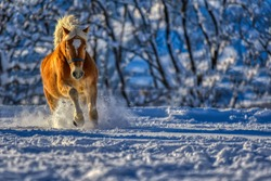Haflinger having fun in the Winter Wonderland