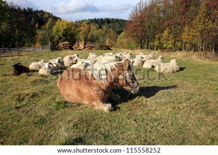 Haflinger horse is sunbathing in autumn sun and Skudde sheep is resting - the most primitive sheep breed in Europe. Funny farm during autumn.