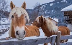 haflinger horse on background winter mountains