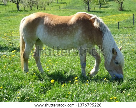 haflinger horse on the meadow #1376795228