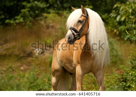Haflinger horse posing in a forest, the Netherlands
