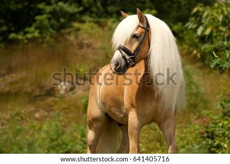 Haflinger horse posing in a forest, the Netherlands #641405716