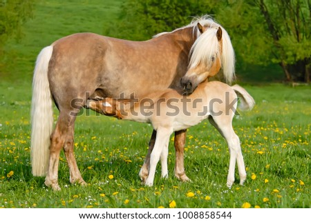 Haflinger horses, a cute thirsty suckling foal drinking milk from its mother, it is nursing from its dam on a sunny day in spring, Germany