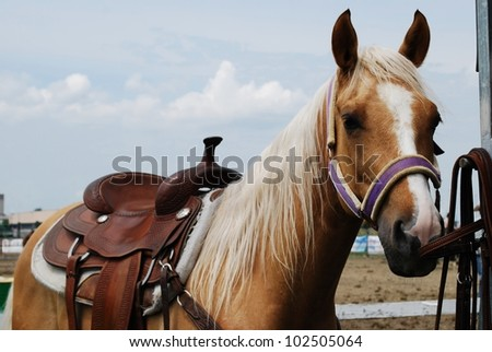 Haflinger light brown horse outdoor in natural light