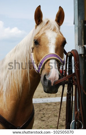 Haflinger light brown horse outdoor in natural light