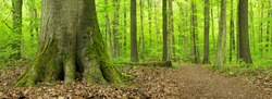 Hainich National Park, Germany, Footpath through lush green Forest of  big old Beech trees in Spring
