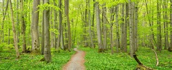Hainich National Park, Germany, Winding Footpath through lush green  Beech Forest in Spring