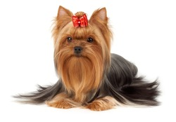 Hair of this purebred Yorkshire terrier is groomed by professional breeder. Its head is bright red with bow on top. Dog is isolated on white background.