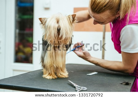 Hairdresser mows Yorkshire Terrier fur on the ear with a trimmer