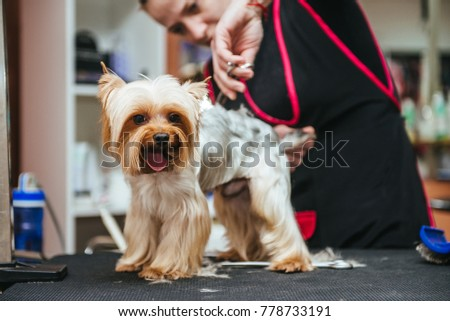 Hairdresser mows Yorkshire Terrier fur on the ear with a trimmer #778733191