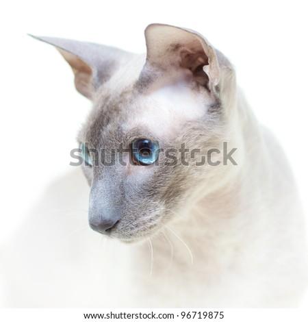 Hairless Cat - stock photo