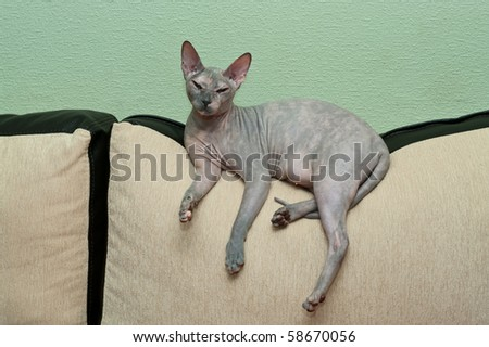 Hairless cat a sphynx laing on sofa and looking at camera