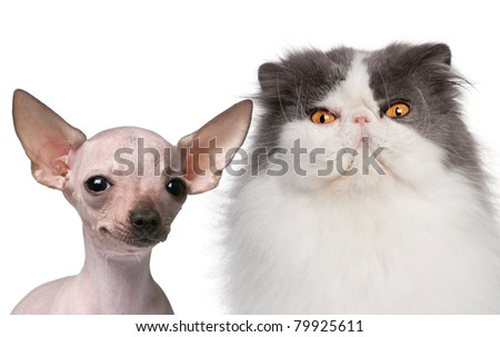 Hairless Chihuahua, 5 months old and a Persian cat, 9 years old, in front of white background