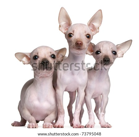 Hairless Chihuahuas, 5 and 7 months old, in front of white background