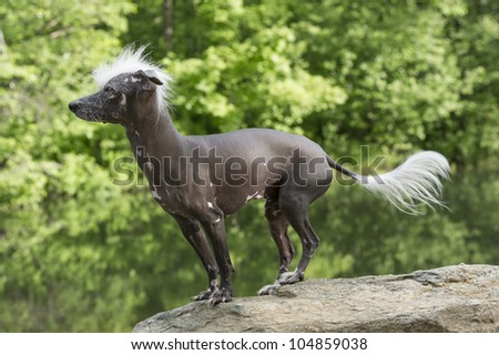 Hairless Chinese Crested Dog standing on a rock