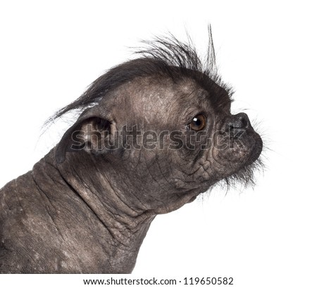 Hairless dog, mix between French bulldog and Chinese Crested Dog