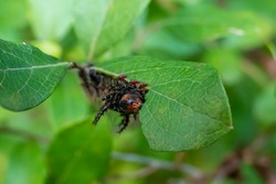 Hairy black caterpillar eating a leaf