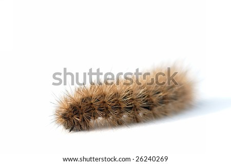 Hairy brown caterpillar on white background