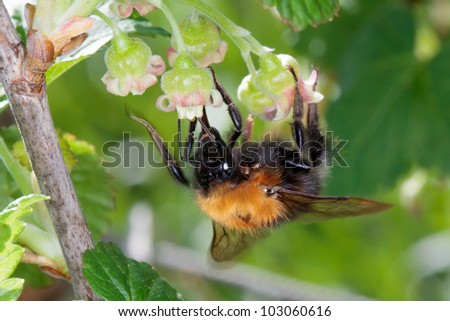 Hairy bumble bee pollinating a flower of the plant.