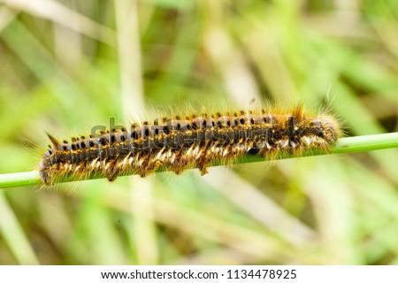 hairy caterpillar euthrix potatoria in front