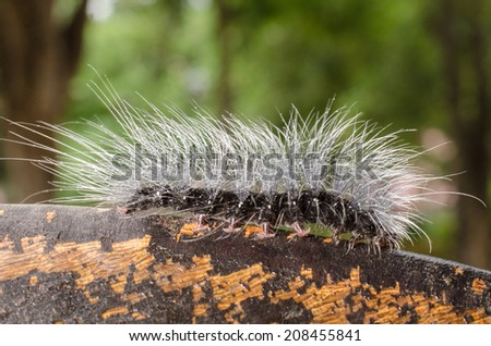 hairy caterpillars.