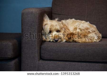 hairy dog on sofa.  Puppy dog sleeping on brown sofa waiting for family. cockapoo is breeding mixed with american cocker spaniel and poodle. Small doggie. Decorative thoroughbred dog. #1395313268