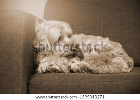 hairy dog on sofa.  Puppy dog sleeping on brown sofa waiting for family. cockapoo is breeding mixed with american cocker spaniel and poodle. Small doggie. Decorative thoroughbred dog. #1395313271