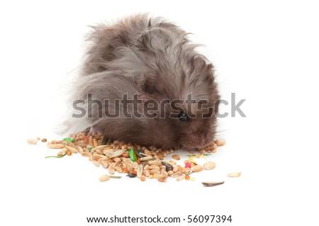 Hairy Hamster Eating Grains